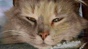 Watery Eyes Meme - cat runny watery eyes causes and treatments