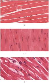 overview of muscle tissues anatomy and physiology