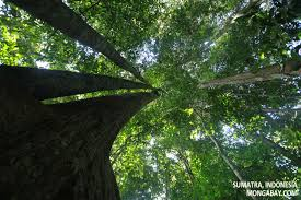 Tropical Rainforest Plant List - rainforest canopy trees