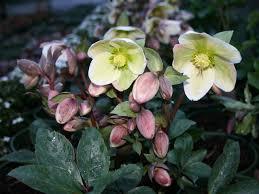 hellebores add winter interest to gardens hgtv