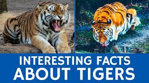 all about tigers interesting facts for kids and educational