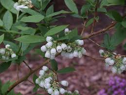 Fertilizer For Flowering Shrubs - blueberries for home landscapes yard and garden university of
