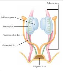 Human Anatomy Cervix Fa Pathoma Reproductive Embryo Anatomy Physiology M U0026r