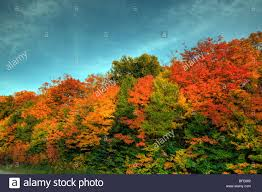 colorful trees algonquin park fall ontario canada stock