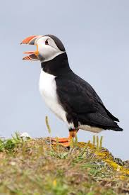 hinterland who u0027s who atlantic puffin