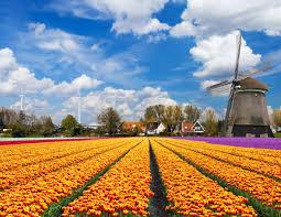 Netherlands Tulip Fields Tulip Fields Tulips Field Flower Flowers Windmill Wallpaper
