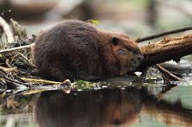 beaver the canadian encyclopedia