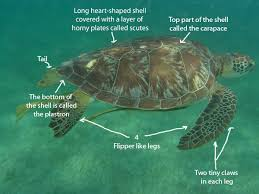 A Anatomy Turtle A Anatomy Of A Sea Turtle With Best Of Anatomy Of A Sea