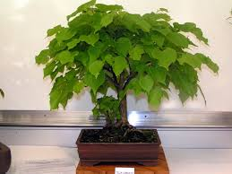 bonsai saule pleureur framboisier mon bonsai ne va pas bien forums parlons bonsai