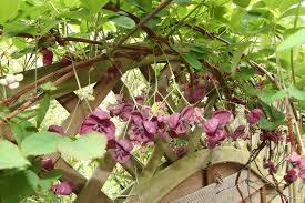 akebia quinata gardenersworld com