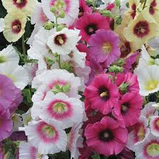 hollyhock flowers halo mix hollyhock flowers and bulbs veseys