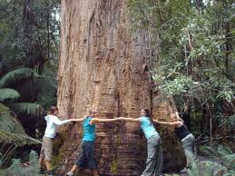 the tallest tree in the southern hemisphere photo