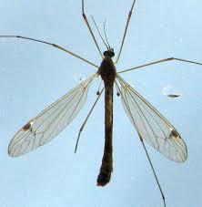 Flies In Backyard Backyard Critter Watch Mosquito Eaters Aka Crane Flies