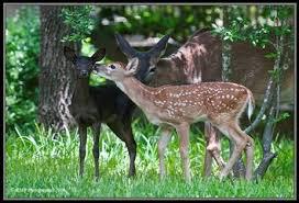 dark chocolate brown deer