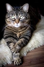 best 25 tabby cats ideas on pinterest tabby cat names adorable