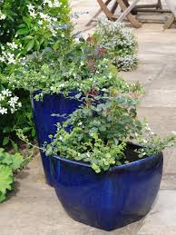 Fragrant Bedding Plants How To Grow Patio Roses In Containers Hgtv