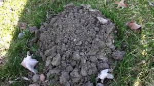 How To Get Rid Of Moles In The Backyard by Mole Trapping Made Easy The Mole Mound Youtube