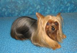 types of yorkie haircuts pet yorkie grooming options bbird s groomblog