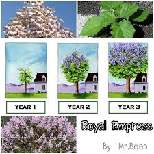 royal empress tree grows 15 18 ft year empress tree facts