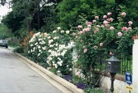 Build A Rose Trellis Training Climbing Roses On A Trellis U2013 Paul Zimmerman Roses