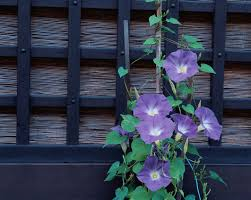 Purple Flower On A Vine - the best annual flowering vines for your garden