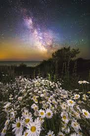 daisies under a starlit sky wall mural daisies under a starlit daisies under a starlit sky wall mural photo wallpaper
