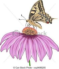 butterfly on a flower echinacea isolated on white clipart vector