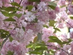 best 25 cherry tree varieties ideas on cherry tree