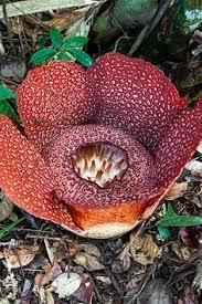 largest flower in the world rafflesia arnoldii the largest flower in the world is the rare