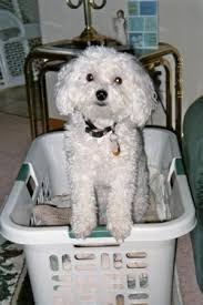 poodle vs bichon frise the puppy vs the dog 9