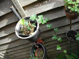 plants for sale english ivy plants in 10 cm pot in north london