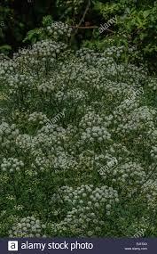 Mass Of Poisonous Water Dropwort In Flower Beside A River Flowers