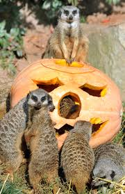 animals halloween have a spooky good time with halloween nights at the dallas zoo