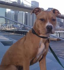 american pitbull terrier blue price of blue nose pit bull daily dog discoveries