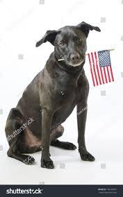 american pit bull terrier lab mix black lab pit bull mix mutt stock photo 143126587 shutterstock