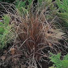 carex bronze ornamental grass seeds the sun seeds