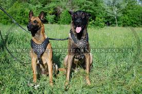 belgian shepherd malinois breeders uk belgian malinois harness for dogs leather dog harness for sale