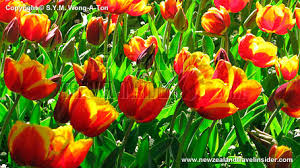 spring flowers in wellington botanic garden new zealand travel