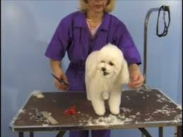 poodles long hair in winter poodle teddy bear clip pet grooming studio academy youtube
