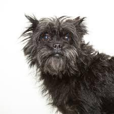 affenpinscher puppies for sale in texas affenpinscher puppies and dogs for sale in el paso tx usa