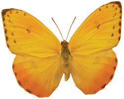butterfly png image free picture