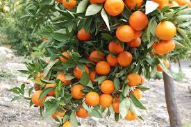 orange trees hd wallpaper 1719171