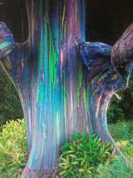 rainbow eucalyptus trees with eucalyptus tree amazing