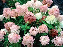 Fertilizer For Flowering Shrubs - hydrangea fertilizer diy
