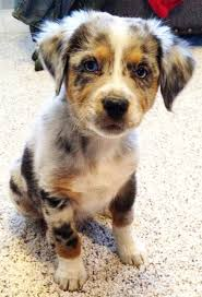 2 month old australian shepherd blue merle shepherd with copper points puppy time pinterest