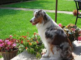 australian shepherd grooming needs 171 best australian shepherd images on pinterest aussie dogs