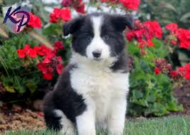 bichon frise breeders in pa border collie mix u2022 keystone puppies puppies for sale in pa