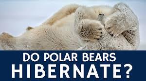do polar bears hibernate u2013 basic animal facts for kids youtube