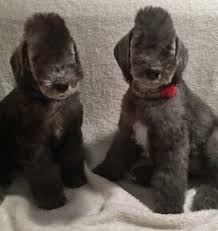 feeding a bedlington terrier purchasing and owning a bedlington u2013 bedlington terrier club of