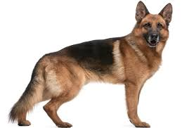 belgian shepherd vs doberman german shepherd jpg